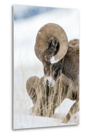 Two Bighorn Rams Digging for Grass Use their Front Feet to Push Away Snow with a Circular Motion-Tom Murphy-Metal Print