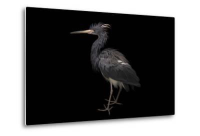 A Tricolored Heron, Egretta Tricolor, at the Cincinnati Zoo-Joel Sartore-Metal Print