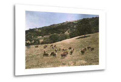 In a Pasture Near Pleasanton Hereford Cattle Graze-Charles Martin-Metal Print