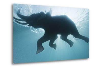 A Mahout, Rides Rajan the Elephant, While it Swims in the Andaman Islands-Cesare Naldi-Metal Print