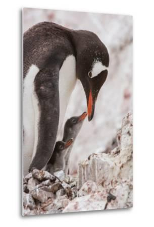 A Gentoo Penguin and Two Chicks-Tom Murphy-Metal Print