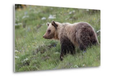 A Grizzly Bear Standing on a Hillside in a Field of Wildflowers-Tom Murphy-Metal Print