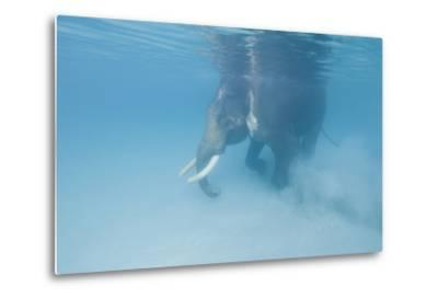 Rajan, the Elephant, Walks Underwater Lifting Sand Near a Beach in the Andaman Islands, India-Cesare Naldi-Metal Print