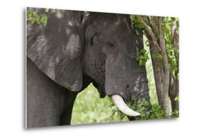 An African Elephant, Loxodonta Africana, Feeding on Leaves from a Tree-Sergio Pitamitz-Metal Print