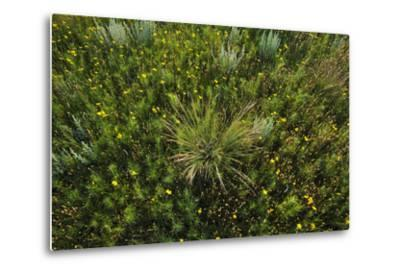 Greenthread, Navajo Tea, or Hopi Tea, Thelesperma Filifolium, in Bloom, and a Clump of Grass-Michael Forsberg-Metal Print