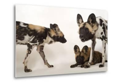 African Wild Dogs, Lycaon Pictus, at the Omaha Zoo-Joel Sartore-Metal Print