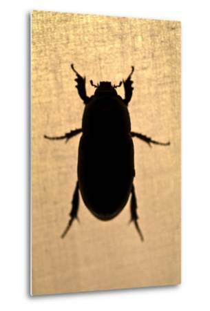 The Silhouette of a Beetle Resting on the Canvas of a Tent in the Amazon Rainforest at Night-Jason Edwards-Metal Print