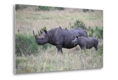 Portrait of a Rhinoceros and Her Calf in a Grassland. Oxpeckers are on the Mother's Back-Bob Smith-Metal Print