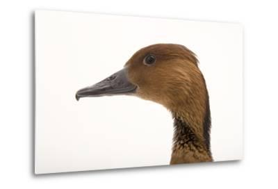 A Fulvous Whistling Duck, Dendrocygna Bicolor, at the Living Desert in Palm Desert, California-Joel Sartore-Metal Print