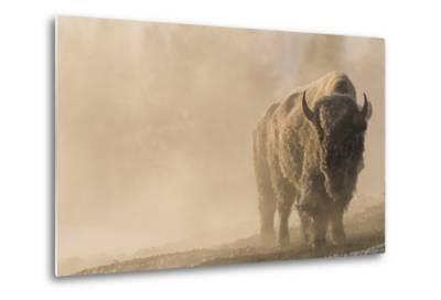 A Frost Covered Bison Stands in a Steamy Landscape-Tom Murphy-Metal Print
