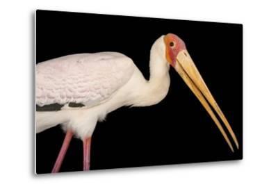 A Yellow-Billed Stork, Mycteria Ibis, at the Living Desert in Palm Desert, California-Joel Sartore-Metal Print