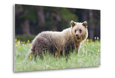 A Grizzly Bear Juvenile Standing in Summer Wildflower Field-Tom Murphy-Metal Print