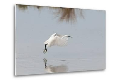 Portrait of a Little Egret, Egretta Garzetta, Flying Low over the Water-Sergio Pitamitz-Metal Print