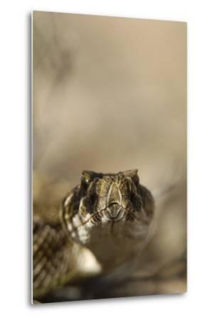 Close Up Portrait of a Prairie Rattlesnake-Michael Forsberg-Metal Print