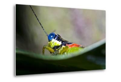 The Blue Eyes of a Colorful Grasshopper Resting on a Leaf in the Amazon Rainforest-Jason Edwards-Metal Print