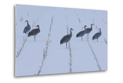 A Flock of Sandhill Cranes Resting in a Cornfield after a Blizzard-Michael Forsberg-Metal Print