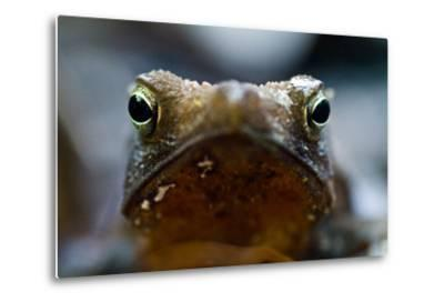 Bright and Sharp, the Eyes of a Crested Forest Toad Hunting in the Amazon Rainforest-Jason Edwards-Metal Print