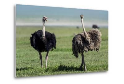 A Male Ostrich Challenging a Female Ostrich with His Beak Open on the Savannah-Jason Edwards-Metal Print