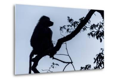 The Silhouette of an Olive Baboon Sitting on the End of a Branch in a Tree before Dawn-Jason Edwards-Metal Print