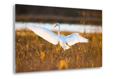 Portrait of a Great Egret, Ardea Alba, Landing in a Marsh-Robbie George-Metal Print
