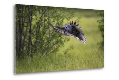 A Great Gray Owl, Strix Nebulosa, Flying with a Rodent in its Beak-Robbie George-Metal Print