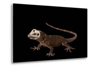 Giant Hispaniolan Galliwasp, Celestus Warreni, Shedding Skin at the Omaha Zoo-Joel Sartore-Metal Print