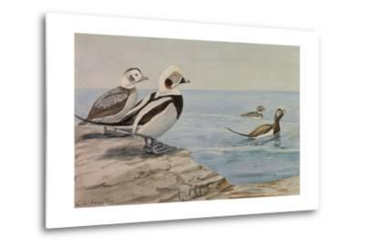 A Painting of Long-Tailed Ducks, Clangula Hyemalis-Louis Agassi Fuertes-Metal Print