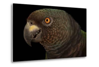 An Endangered Imperial Parrot at the Rare Species Conservatory Foundation, One of Two in Captivity-Joel Sartore-Metal Print