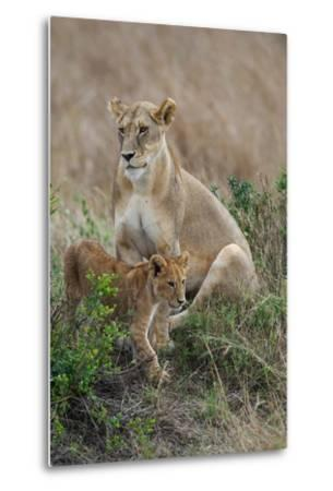 Portrait of a Lioness, Panthera Leo, and Her Cub-Bob Smith-Metal Print
