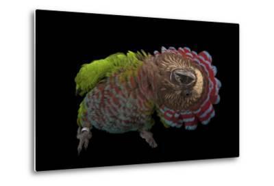 A Hawk-Headed Parrot, Deroptyus Accipitrinus-Joel Sartore-Metal Print