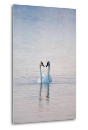 A Pair of Trumpeter Swans Swimming Together-Peter Mather-Metal Print