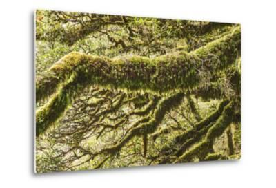Moss, Lichen, Liverwort, and Other Clinging Greenery Cover Tree Limbs-Michael Melford-Metal Print