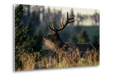 An Alert Bull Elk, with Velvet Covered Antlers, Stands in the Sunlight in Tall Grass-Tom Murphy-Metal Print