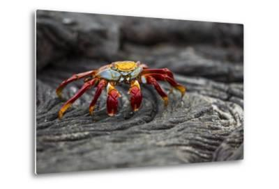 A Sally Lightfoot Crab Rests on Pahoehoe Lava at Sullivan Bay on Santiago Island in Galapagos Natio-Karine Aigner-Metal Print