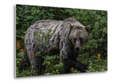 Portrait of a Grizzly Bear, Ursus Arctos, Walking Through Shrubs and Wildflowers-Jonathan Irish-Metal Print