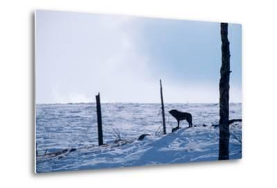 Howling, Listening, and Watching, a Black Wolf Tries to Find the Rest of its Pack-Tom Murphy-Metal Print