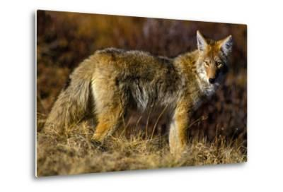 A Coyote on the Lookout for Mice and Other Prey-Tom Murphy-Metal Print