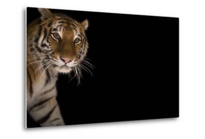 A Female Amur Tiger at the Cheyenne Mountain Zoo-Joel Sartore-Metal Print