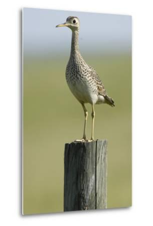 Portrait of an Upland Sandpiper, Bartramia Longicauda, Standing on a Wooden Post-Michael Forsberg-Metal Print
