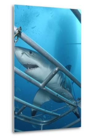Portrait of a Great White Shark, Carcharodon Carcharias, Approaching a Diving Cage-Jeff Wildermuth-Metal Print
