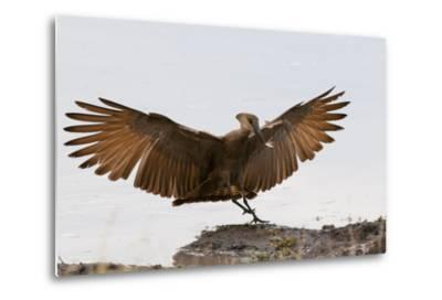 Portrait of a Hammerkop, Scopus Umbretta, Landing with a Termite in its Beak-Sergio Pitamitz-Metal Print