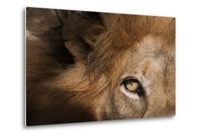 Close Up of a Male Lion's Eye, Panthera Leo-Sergio Pitamitz-Metal Print