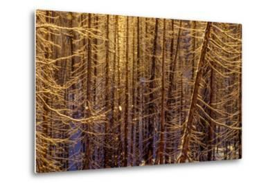 Sunlight Sparkles on Icy Lodgepole Pine Trees, Pinus Contorta-Tom Murphy-Metal Print
