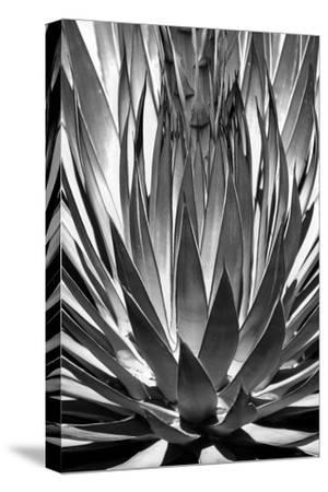 Agave Finale BW-Douglas Taylor-Stretched Canvas Print