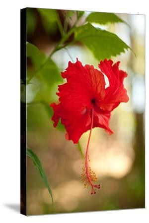 Red Hibiscus-Erin Berzel-Stretched Canvas Print