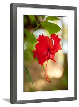 Red Hibiscus-Erin Berzel-Framed Art Print
