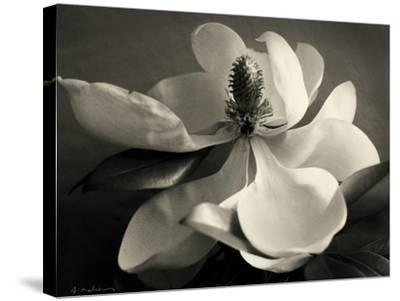 Magnolia Bloom-Amy Melious-Stretched Canvas Print