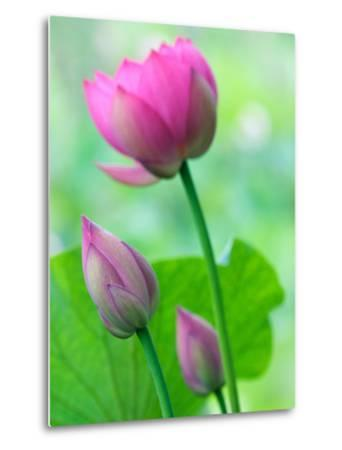 Perry's Water Garden, Lotus Bloom and Buds, Franklin, North Carolina, USA-Joanne Wells-Metal Print