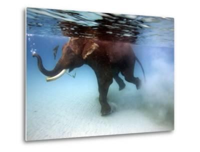 Elephant 'Rajes' Taking Swim in Sea-Johnny Haglund-Metal Print