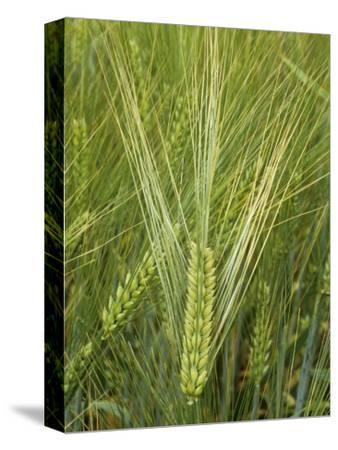 Barley Flowers (Hordeum Vulgare)-Walt Anderson-Stretched Canvas Print
